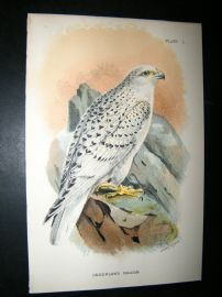 Allen 1890's Antique Bird Print. Greenland Falcon